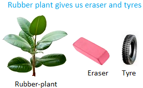 Rubber Plant gives us Eraser and Tyres