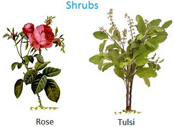 Shrubs, Rose, tulsi, jasmine, hibiscus