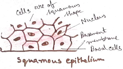 Squamous Epithelial Tissues