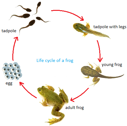Stages in the Life Cycle of a Frog