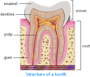Structure of a Tooth