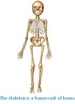 The Skeleton is a Framework of Bones