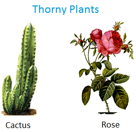 Thorny Plants, cactus, rose and bougainvillea