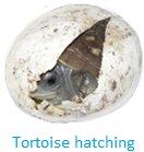 Tortoise Hatching